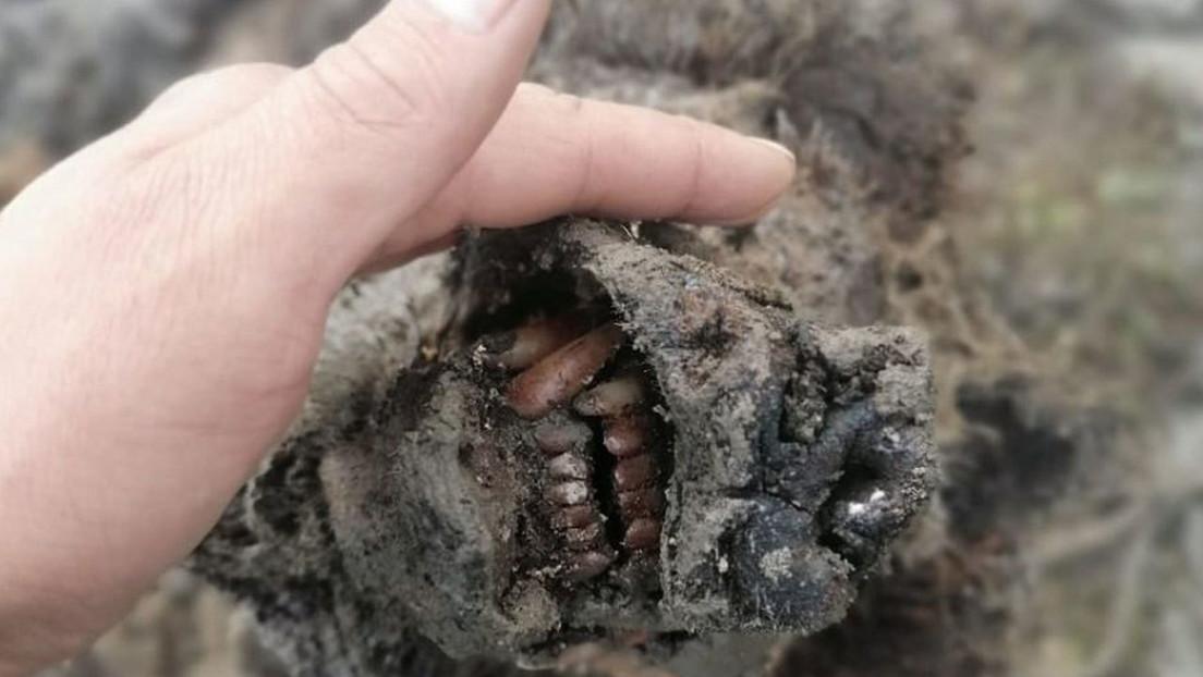 FOTOS: Descubren en Siberia el primer cuerpo de un oso extinto hace 15.000 años, completamente conservado