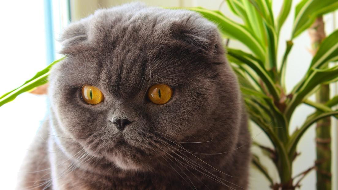 Venden por 130.000 dólares a un gato que «hace milagros y cumple tres deseos»