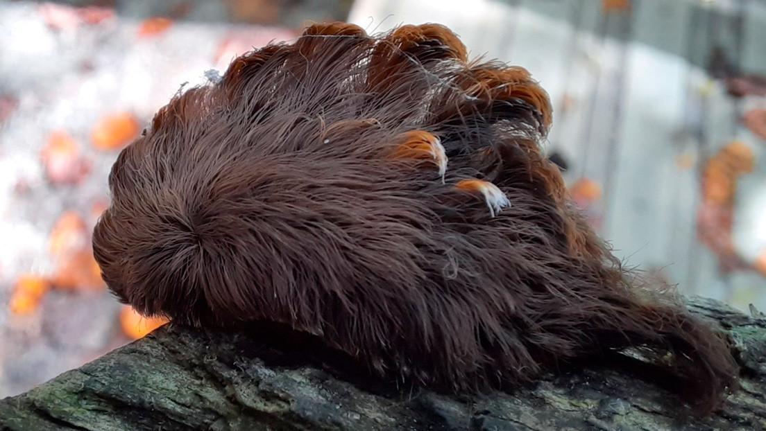 Advierten en EE.UU. la presencia de una peluda oruga cuyas púas venenosas pueden causar síntomas de 'shock'
