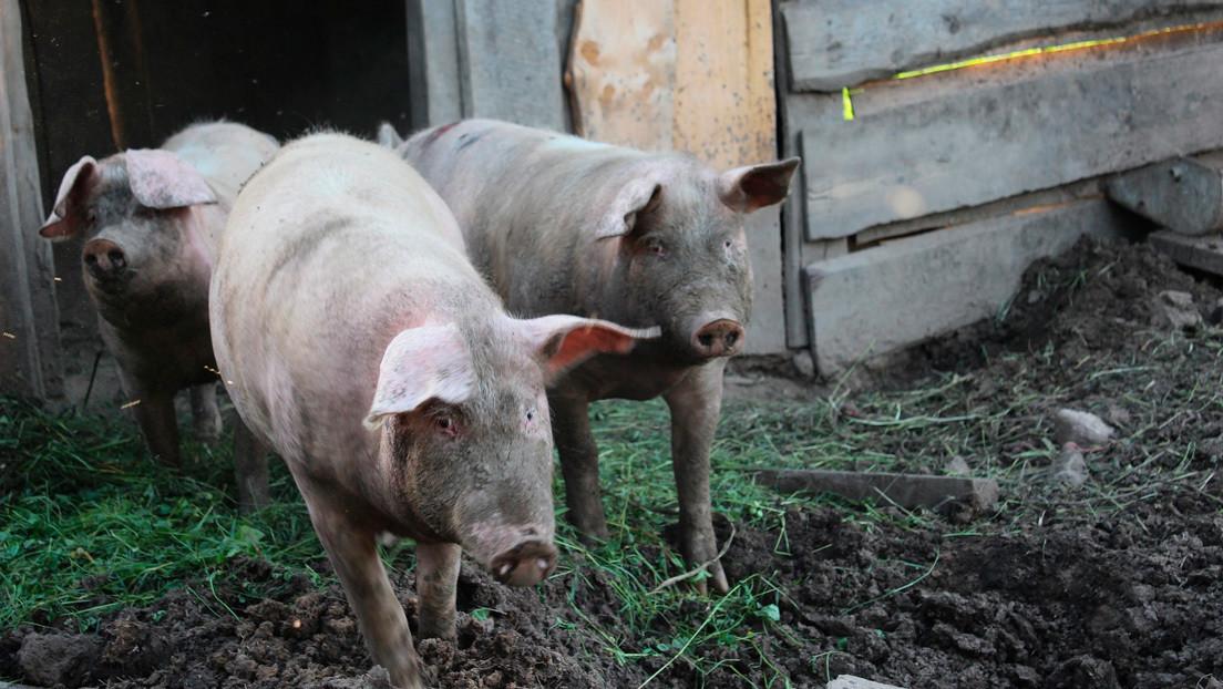 Revelan que un coronavirus 'porcino' que causa enfermedad gastrointestinal en animales, puede replicarse en humanos