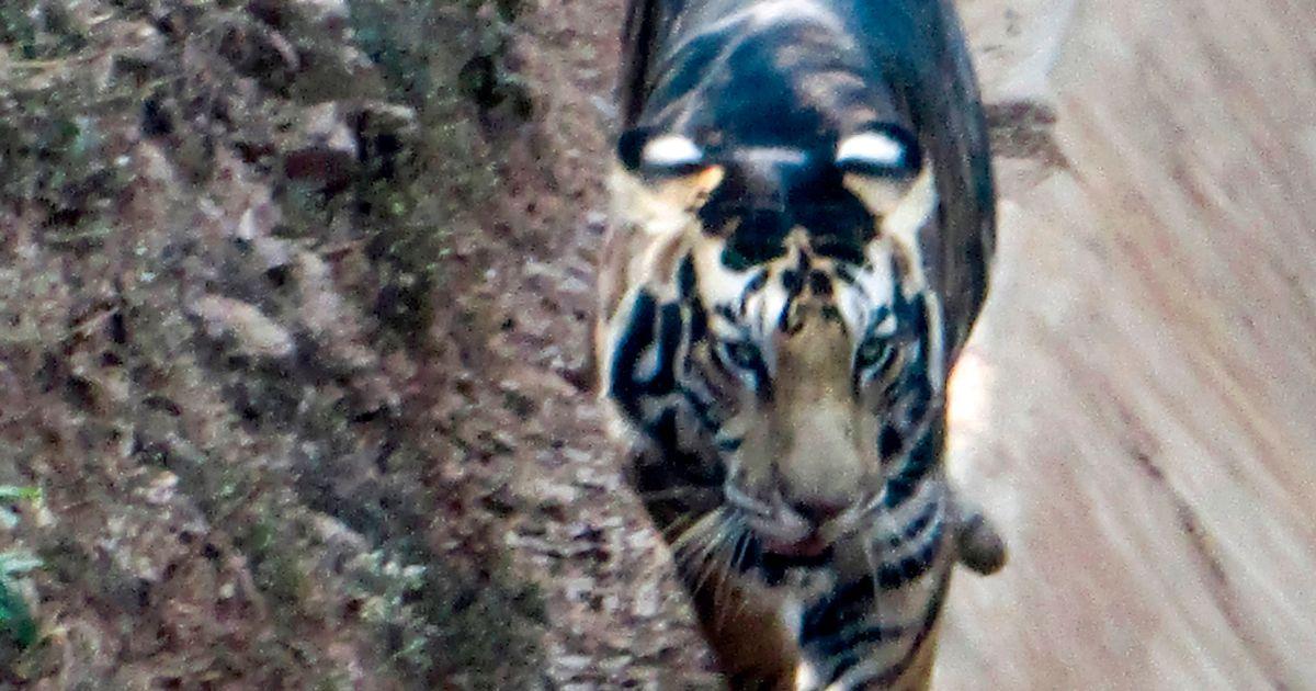 Un raro tigre negro al borde de la extinción captado por un fotógrafo afortunado
