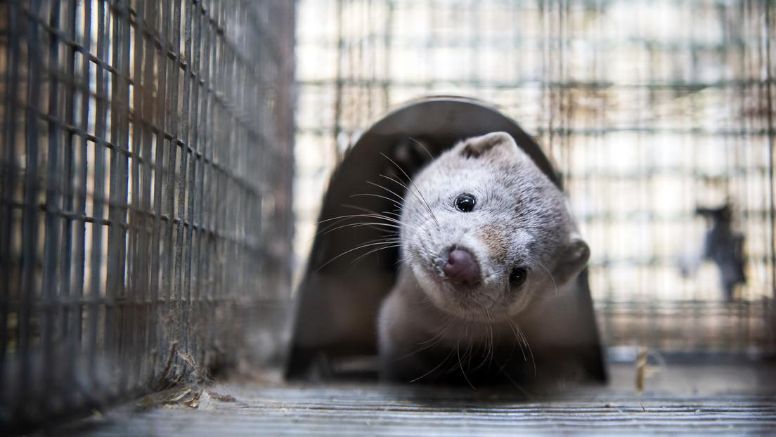 Dinamarca anuncia que la mutación del covid-19 encontrada en visones del país está «probablemente erradicada»